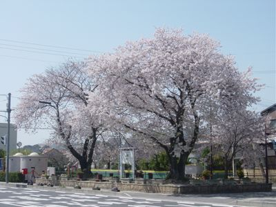 hatagawahiroba sakura 2011.jpg