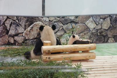 panda1 201726.jpg