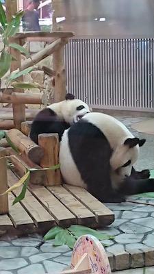 panda20199.jpg